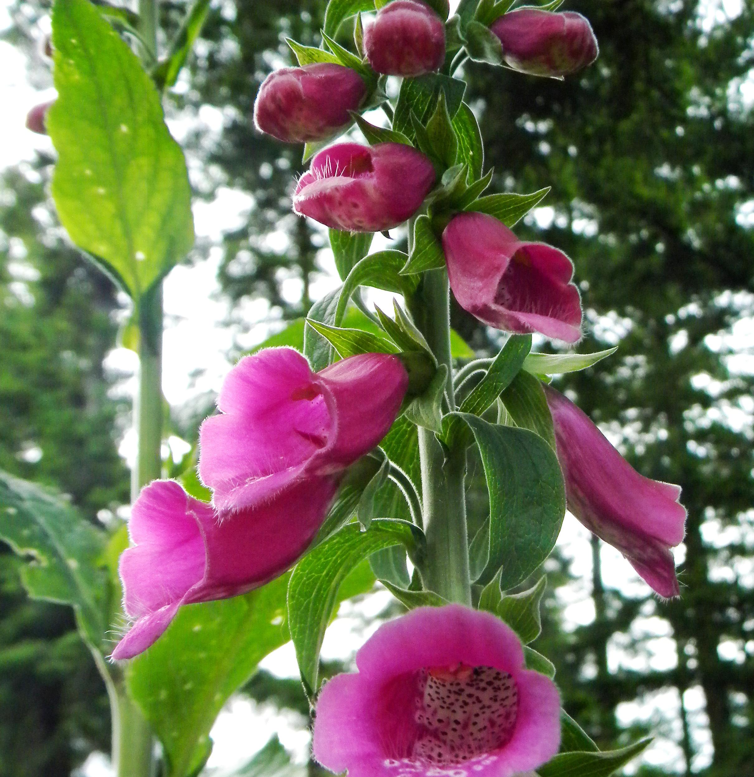 Foxglove Flower Essence Flower Essences Flower Reme s