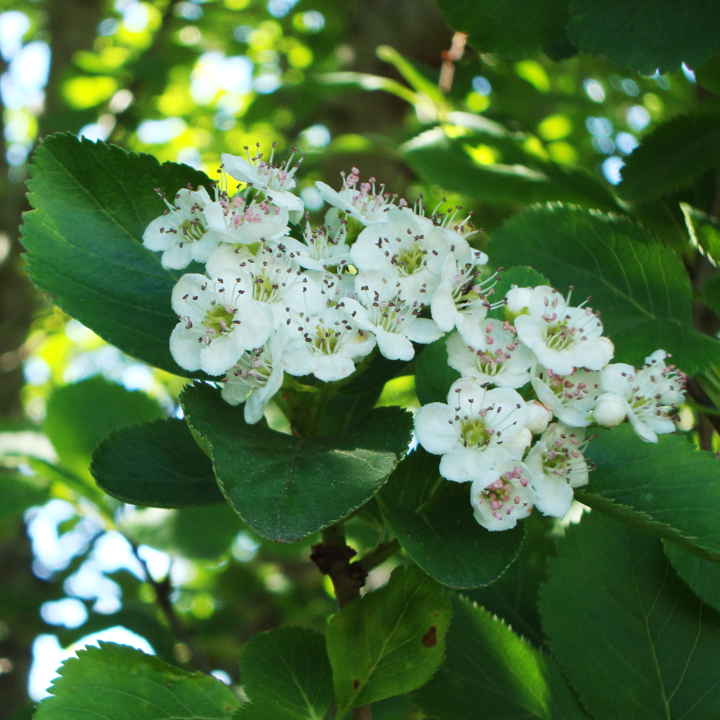 Hawthorn Tree Essence - Flower Essences