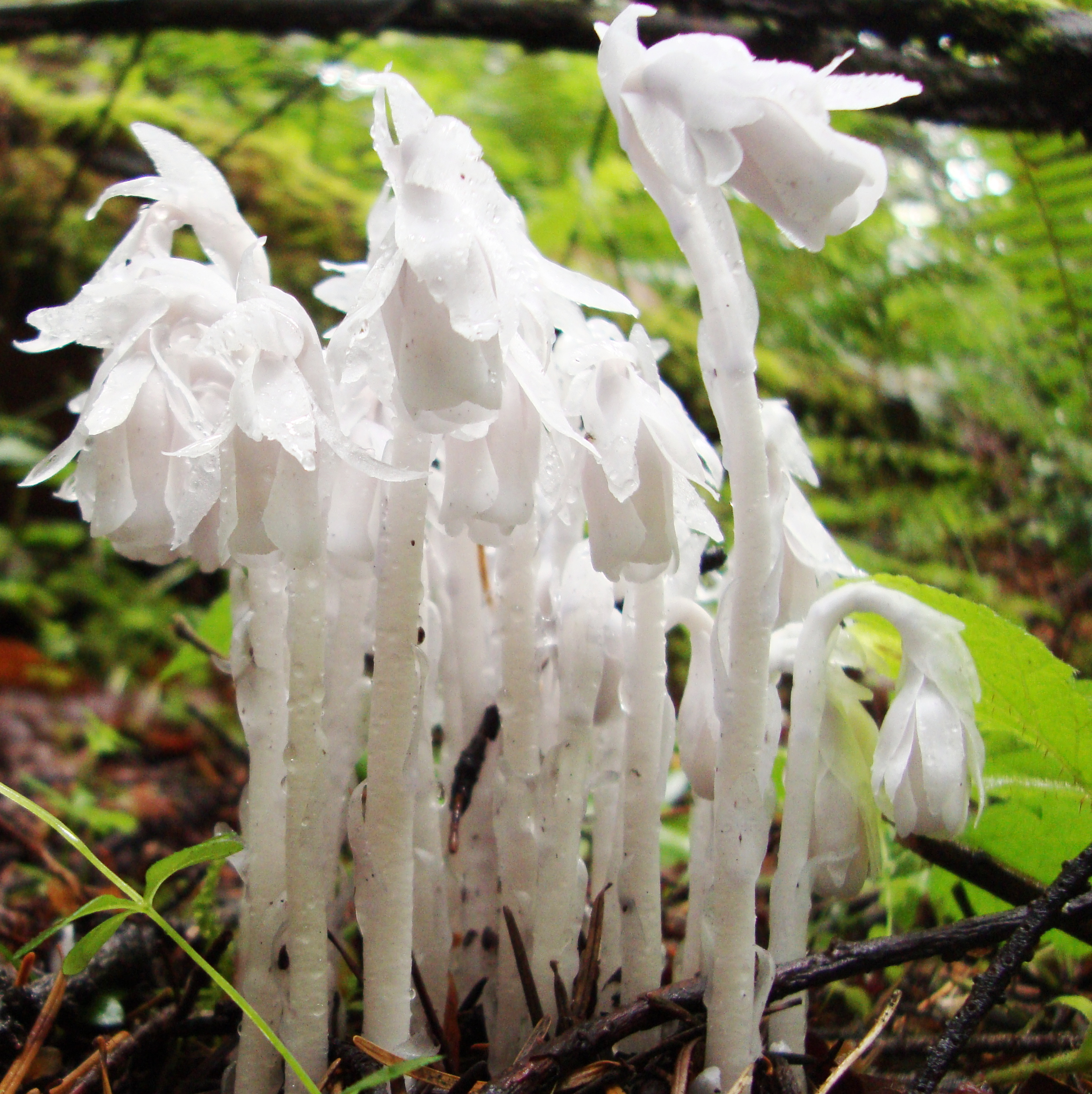 Indian Pipe Flower Essence Flower Essences Flower Remedies