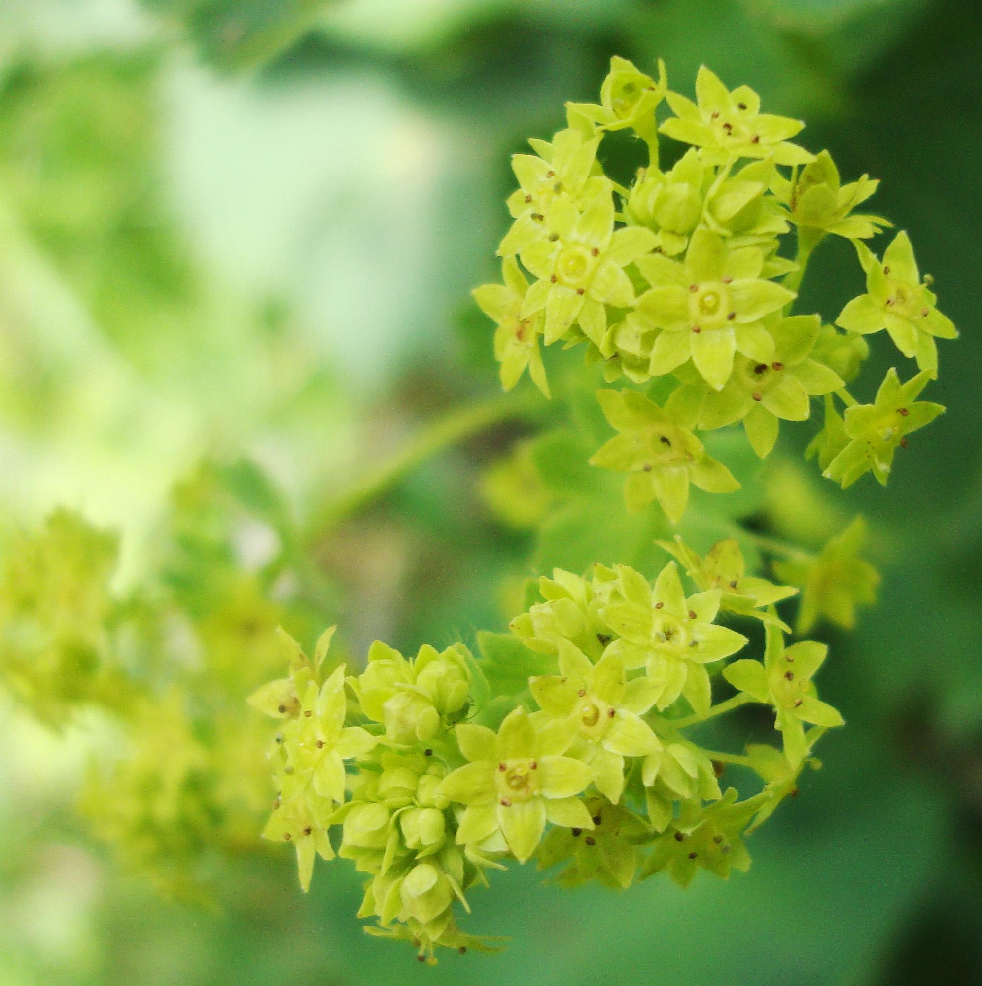 Lady S Mantle Flower Essence Flower Essences Flower