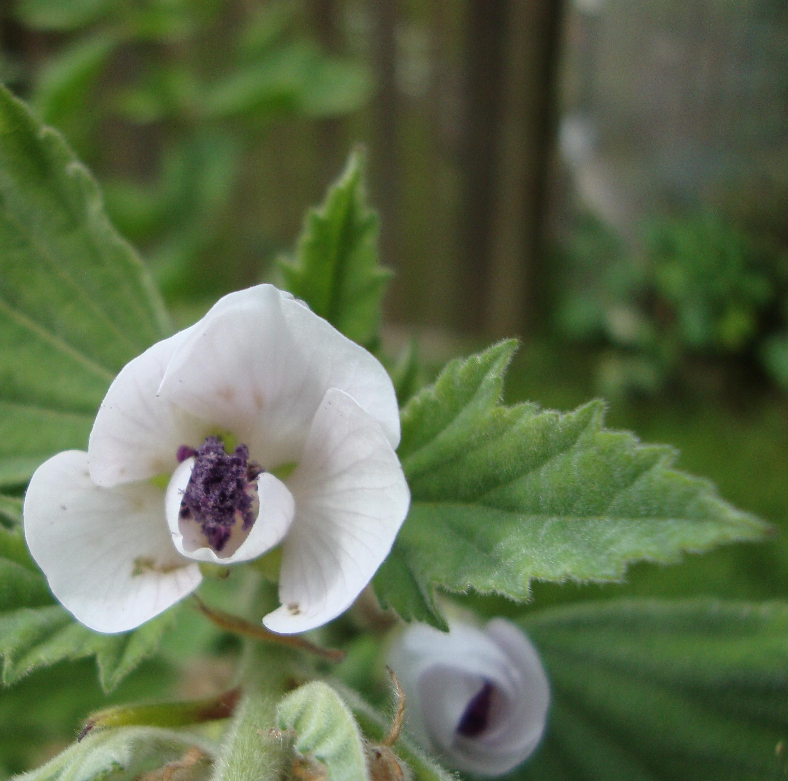 Marshmallow Flower Essence