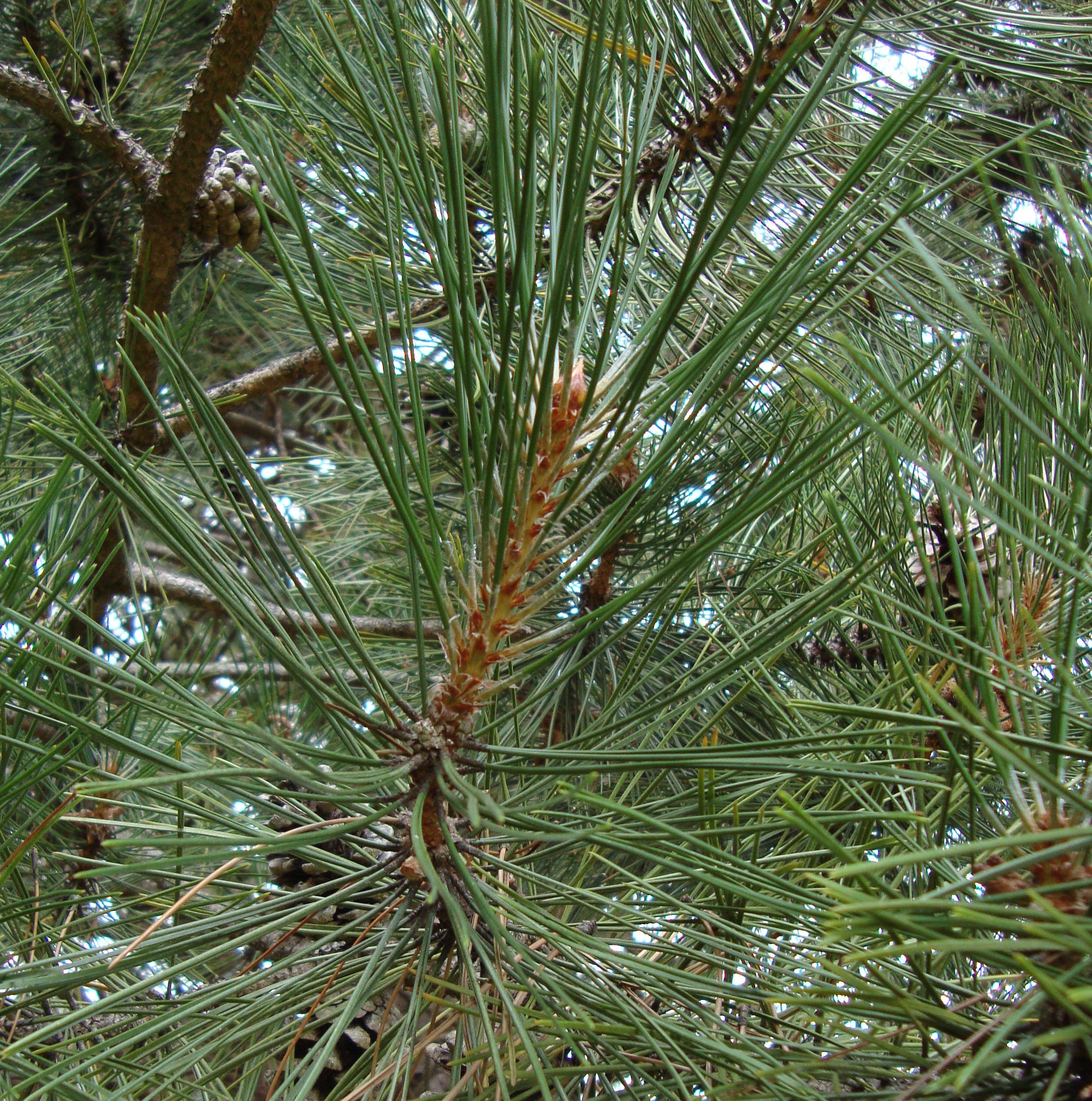 Shore Pine Tree Essence Flower Essences Flower