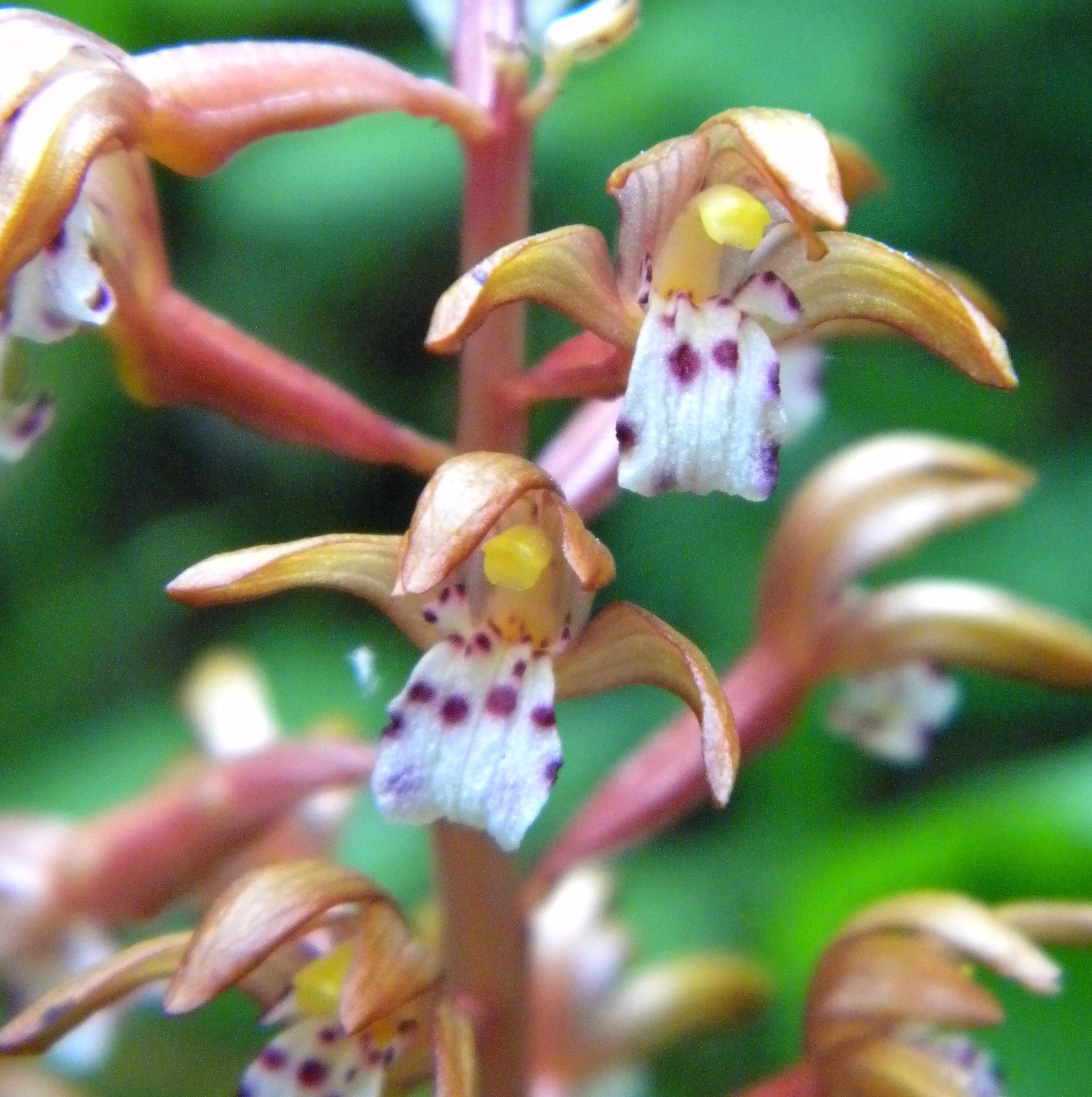 Spotted Coral Root Orchid Flower Essence Flower Essences
