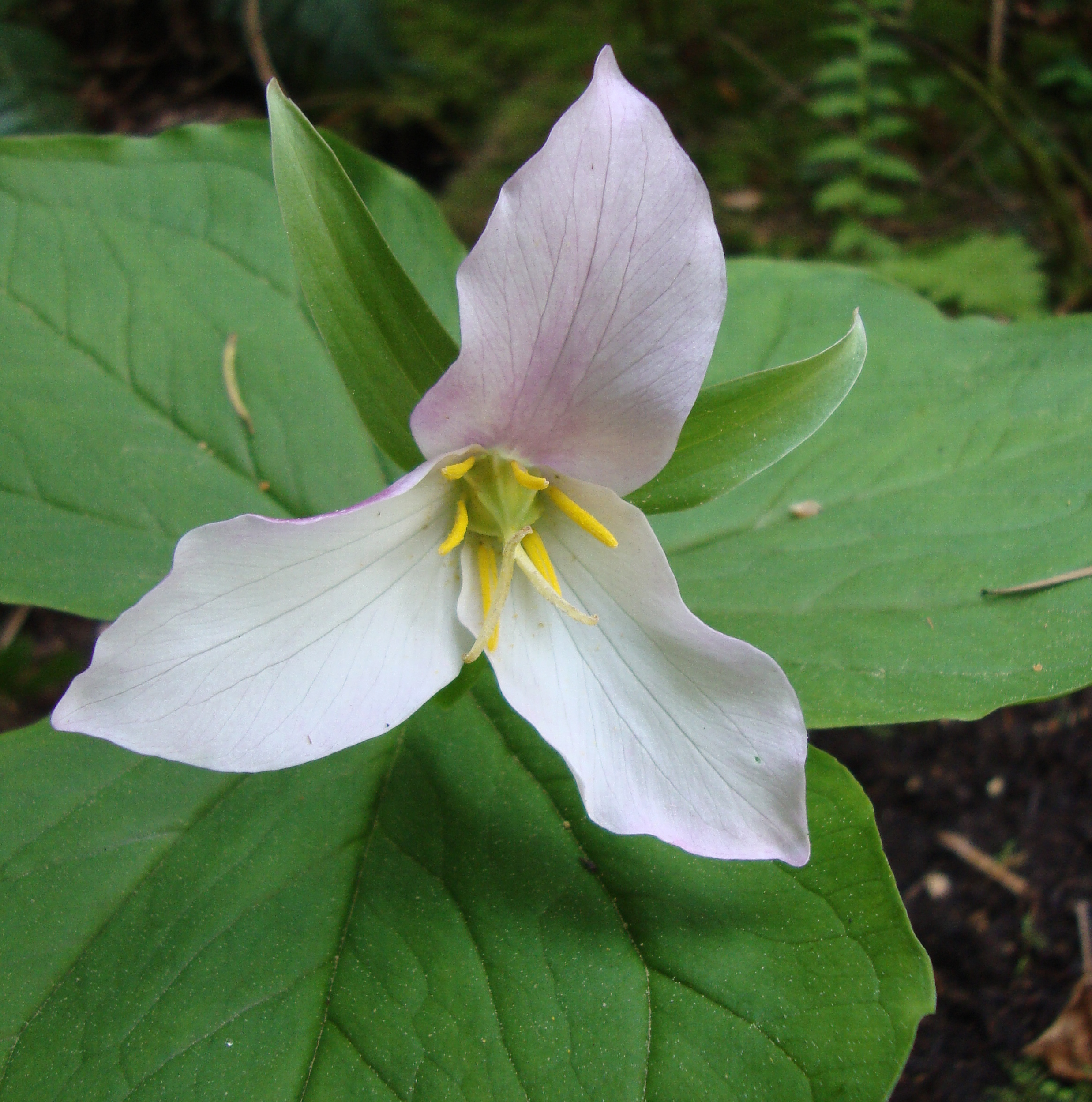 trillium flower essence  flower essences  flower remedies  tree, Beautiful flower
