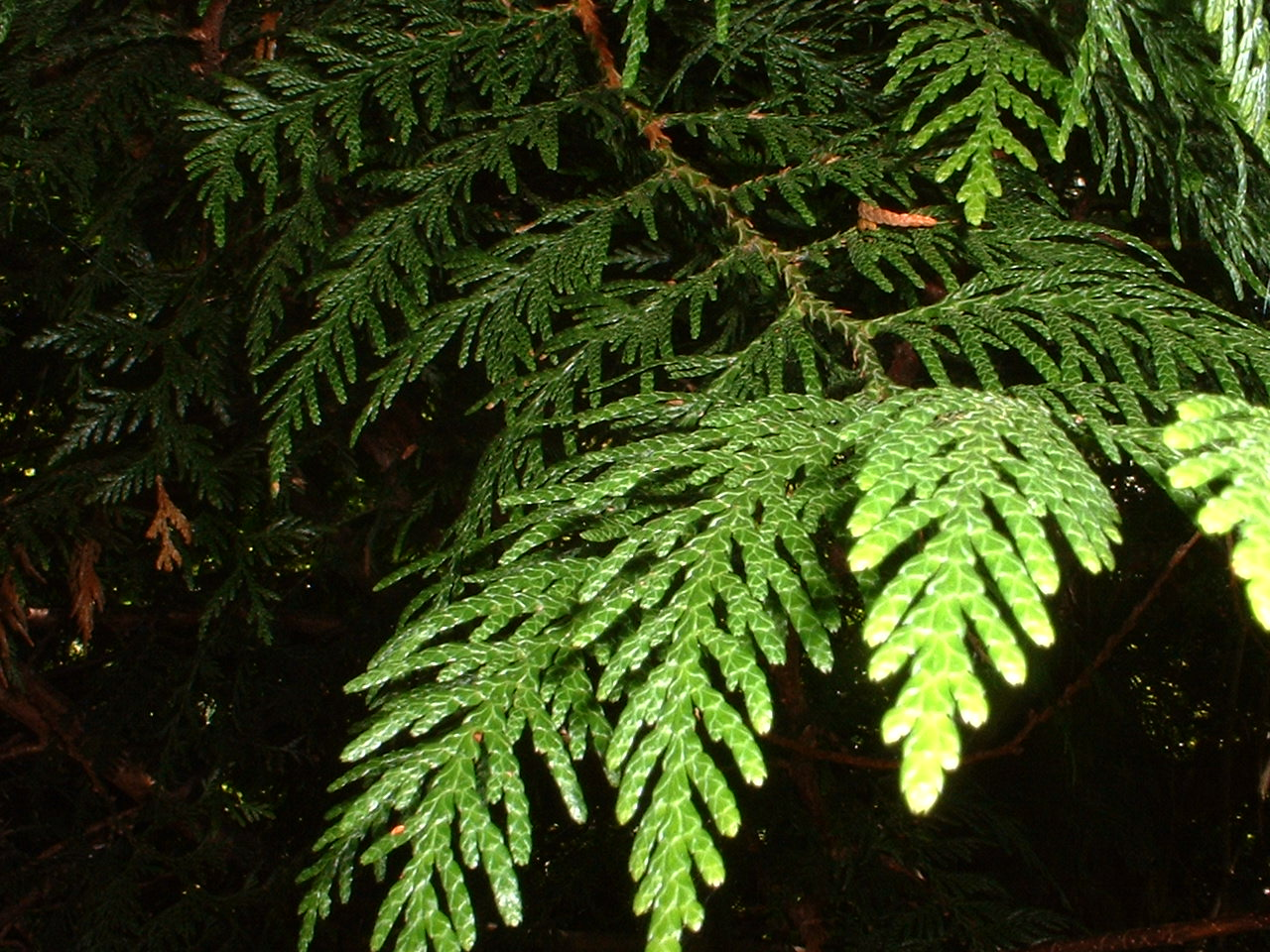 Western Red Cedar Tree ~ Western red cedar tree essence flower essences