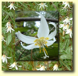 White fawn lily flower essence flower essences flower remedies white fawn lily flower essence izmirmasajfo