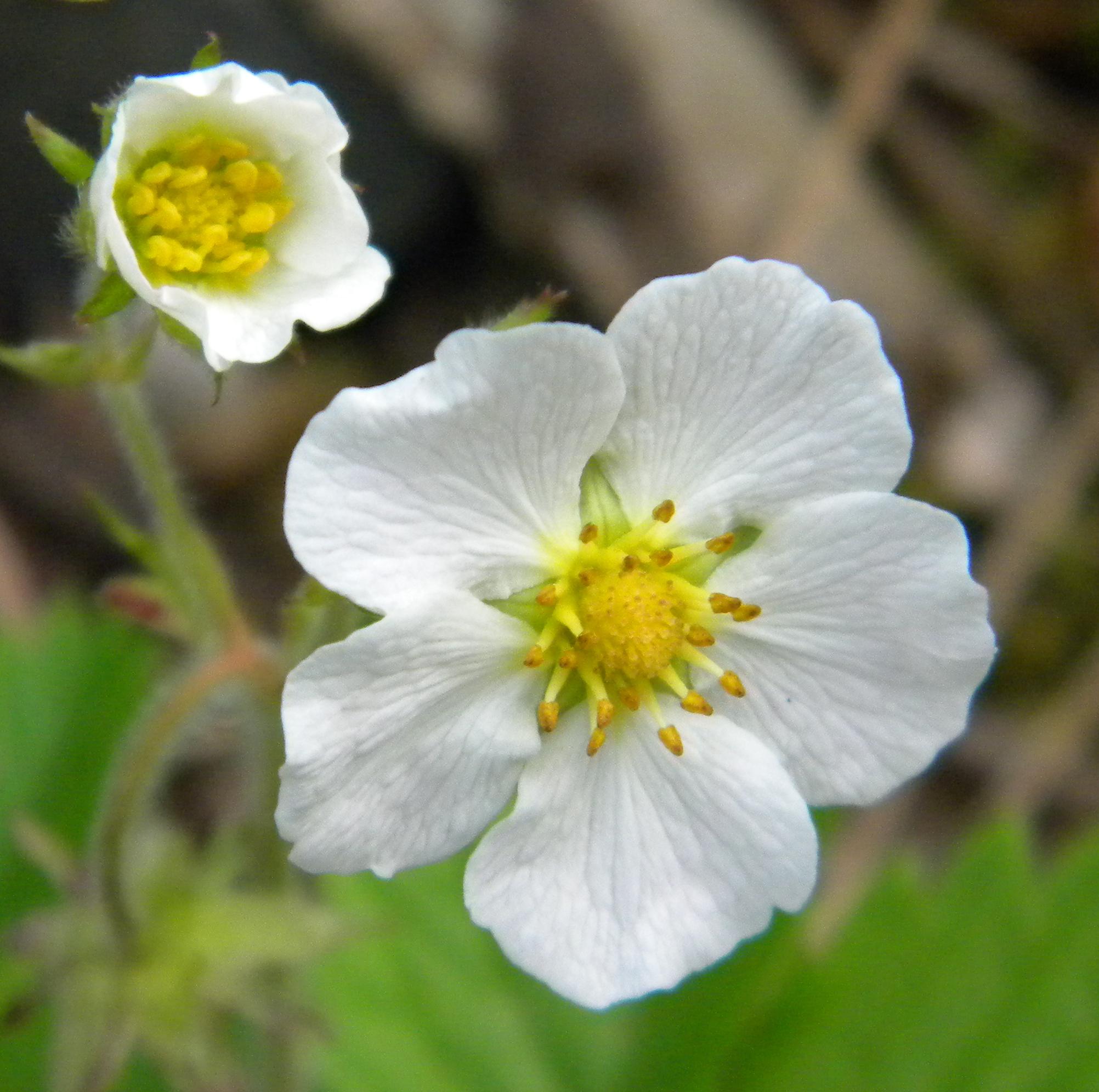 Woodland Strawberry Flower Essence