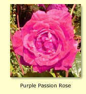 Purple Passion Rose