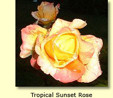 Tropical Sunset Rose