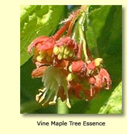 Vine Maple Tree
