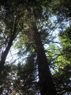 bigtrees1-scale-copy