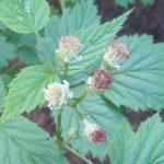 blackcapraspberry