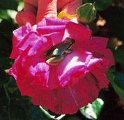 rosefrog-crop