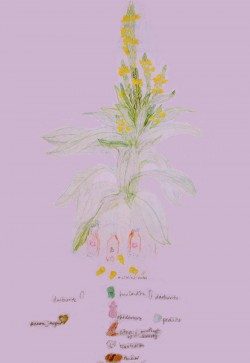 mullein drawing copy