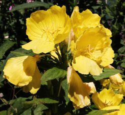 Sundrop Evening Primrose