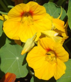 Nasturtium_Flower_crop& Scale copy