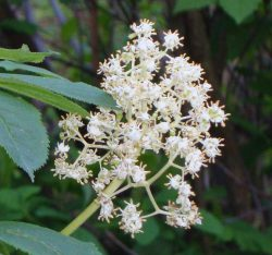 red-elderberry