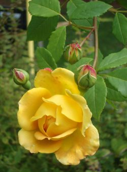 golden-celebration-rose