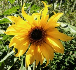 sunflower at tree frog farm