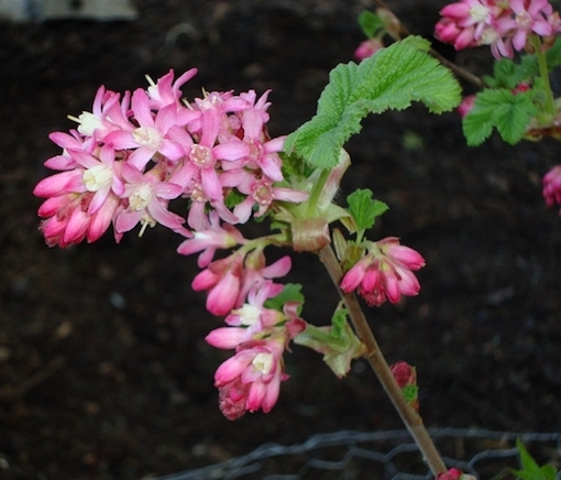 Red-flowering Currant - TFF