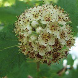 ninebark flower