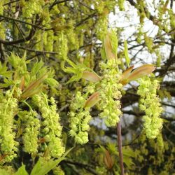 BL Maple Tree