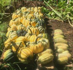 Squash Harvest at Tree Frog Farm