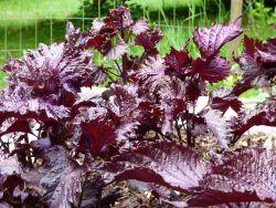 Red Shiso plant at Tree Frog Farm