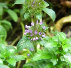 Pennyroyal Flower