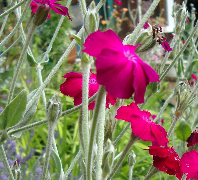 Rose Campion Flower - Tree Frog Farm Flower Essences