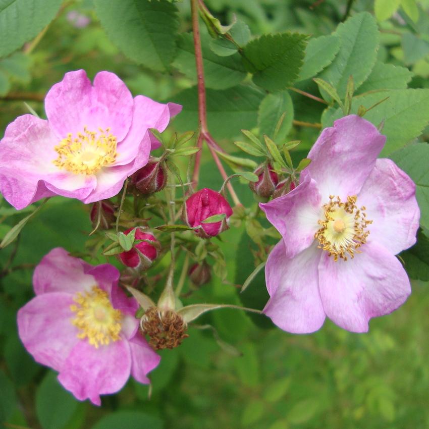 clustered wild rose flower essence - tree frog farm