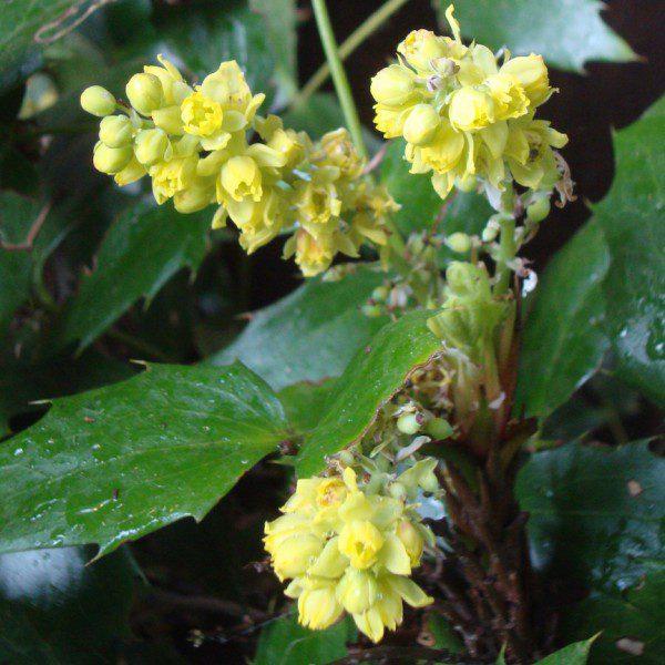 Oregon Grape Flowers - TFF